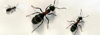 αίμα μυρμηγκιών