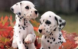 σκυλιά δαλματίας