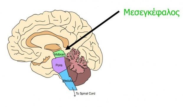 ο μεσεγκέφαλος ευθύνεται για το συναίσθημα της ανταμοιβής