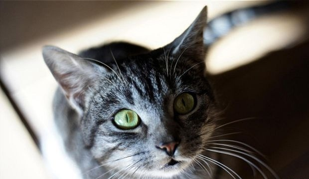η γάτα προσανατολίζεται χρησιμοποιώντας τα μουστάκια της