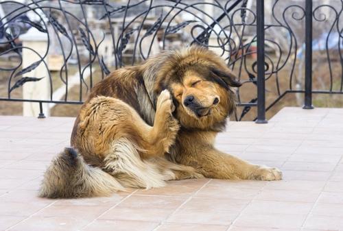 το σκυλί θα ξύνεται αν έχει φαγούρα
