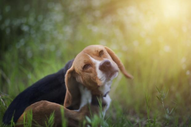 αντιμετωπίστε τους ψύλλους στους σκύλους με φυσικό τρόπο