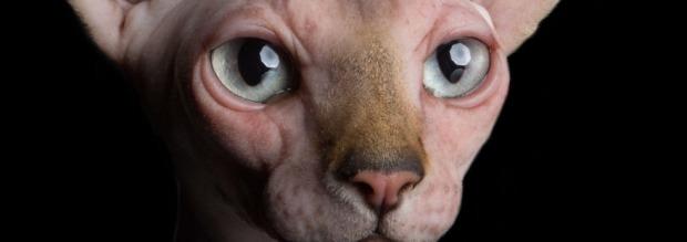 Ποια είναι η γάτα σφίγγα