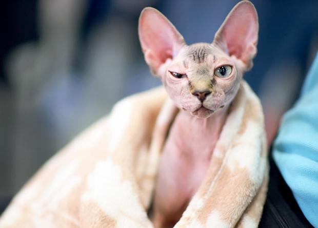 οι γάτες σφιγξ έχουν χαρακτηριστική όψη χωρίς τρίχωμα
