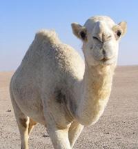 καμήλα καμπούρες