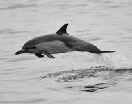 δελφίνια αναζήτηση τροφής