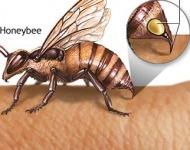 μέλισσα και δηλητήριο