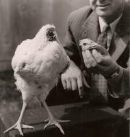 αποκεφαλισμένο κοτόπουλο