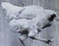 κοτόπουλο χωρίς κεφάλι