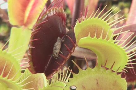 φυτό τρώει έντομα