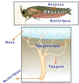 έντομα αναπνευστικό σύστημα