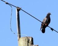 πουλιά ηλεκτροπληξία