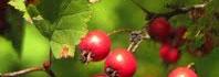 φρούτα ώριμα
