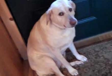 γκαφατζής σκύλος