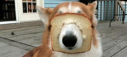 τόστ σκύλος