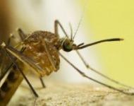 κουνούπια τη μέρα