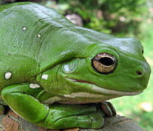 βάτραχος