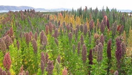 Φυτείες κινόα στη λίμνη Τιτικάκα της Βολιβίας