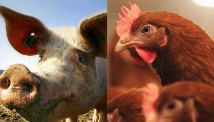 οι κότες και τα γουρούνια τρώνε τηγανόλαδο