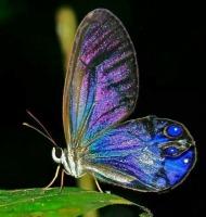 πεταλούδα με ιριδίζοντα φτερα