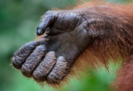 ο παλαμικός μυς υπάρχει σε πολλά ζώα και σε όλα τα πιθηκοειδή