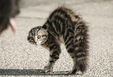 η γάτα διπλασιάζεται όταν ανατριχιάζει-φουσκώνει