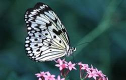 πεταλούδες γεύση