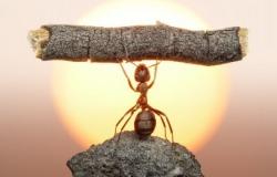 μυρμήγκια καμικάζι