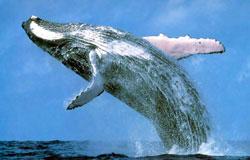 γλώσσα φάλαινα