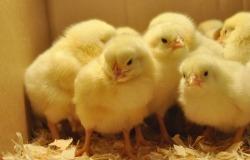 Υπάρχουν περισσότερα κοτόπουλα από ότι άνθρωποι