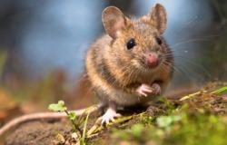 Πως κλέβουν ελαιόλαδο τα ποντίκια