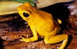 χρυσός βάτραχος